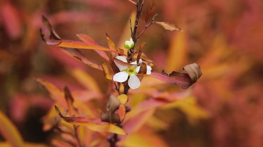 雪柳 紅葉と花10l.jpg