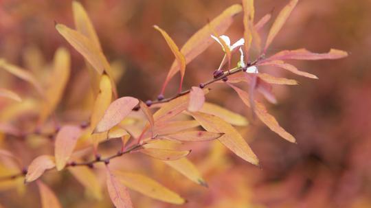 雪柳 紅葉と花2l.jpg
