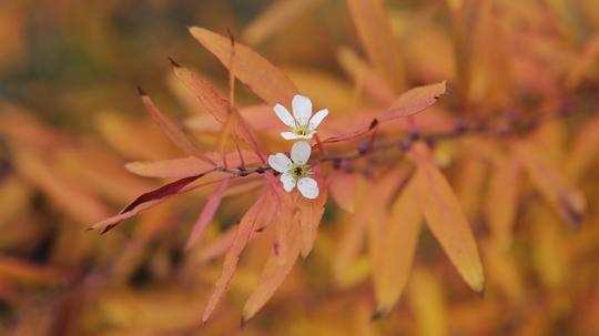 雪柳 紅葉と花3l.jpg