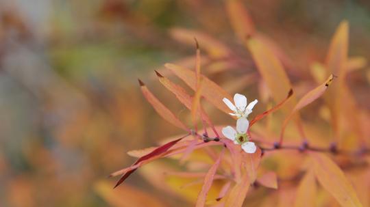 雪柳 紅葉と花6l.jpg
