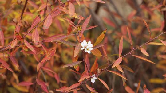 雪柳 紅葉と花7l.jpg
