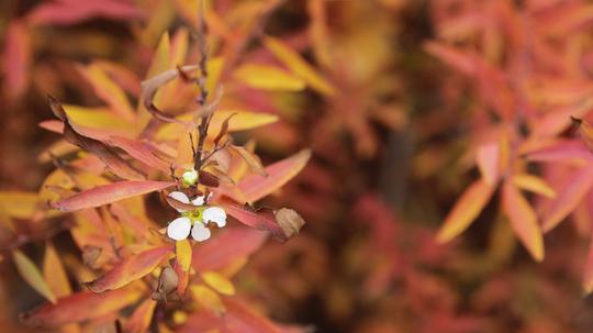 雪柳 紅葉と花8l.jpg
