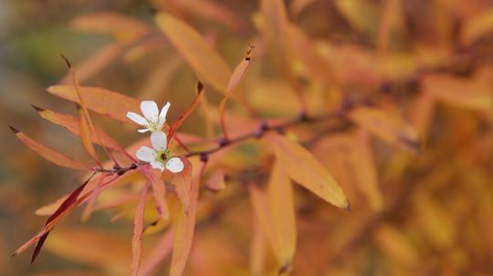 雪柳 紅葉と花9l.jpg